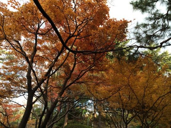Pepohonan Momiji